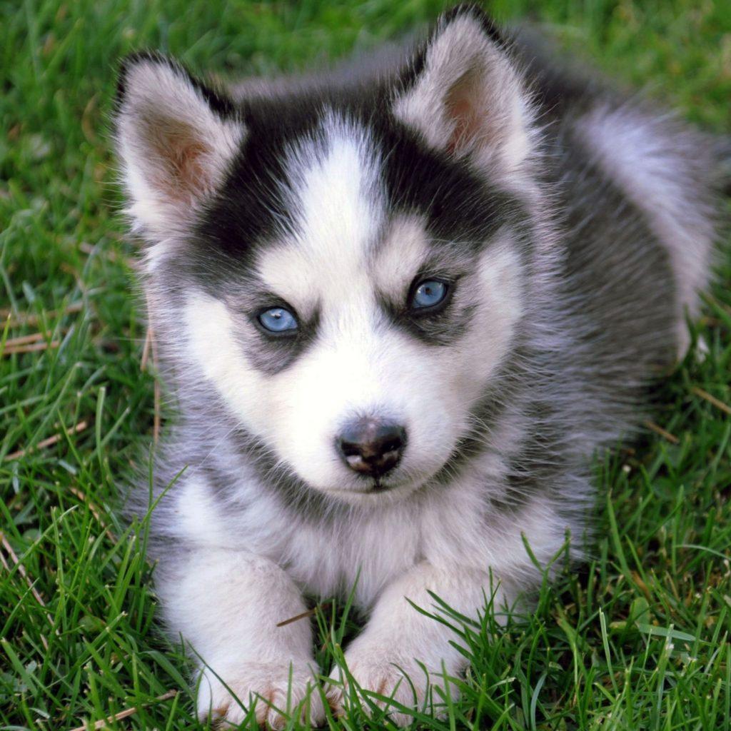 10 Top Images Of Baby Huskies FULL HD 1080p For PC Desktop 2018 free download baby husky cuddle buddies pinterest baby huskies animal 1024x1024