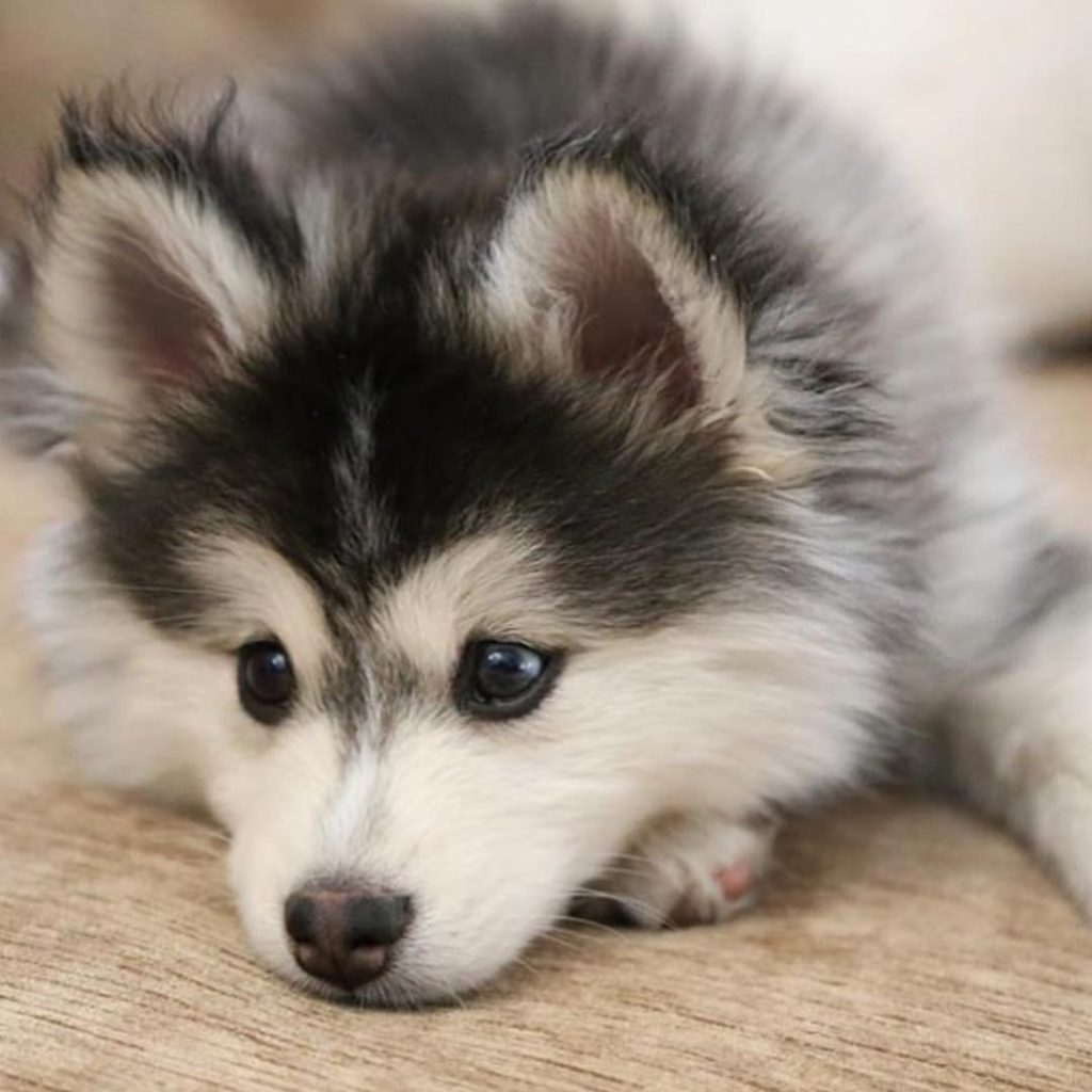 10 Top Images Of Baby Huskies FULL HD 1080p For PC Desktop 2020 free download baby husky cutee29da4 pinterest baby huskies animal and dog 1024x1024