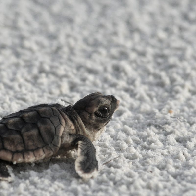 10 Best Baby Sea Turtle Wallpaper FULL HD 1080p For PC Background 2018 free download baby turtles sea turtles wallpapers 1 800x800