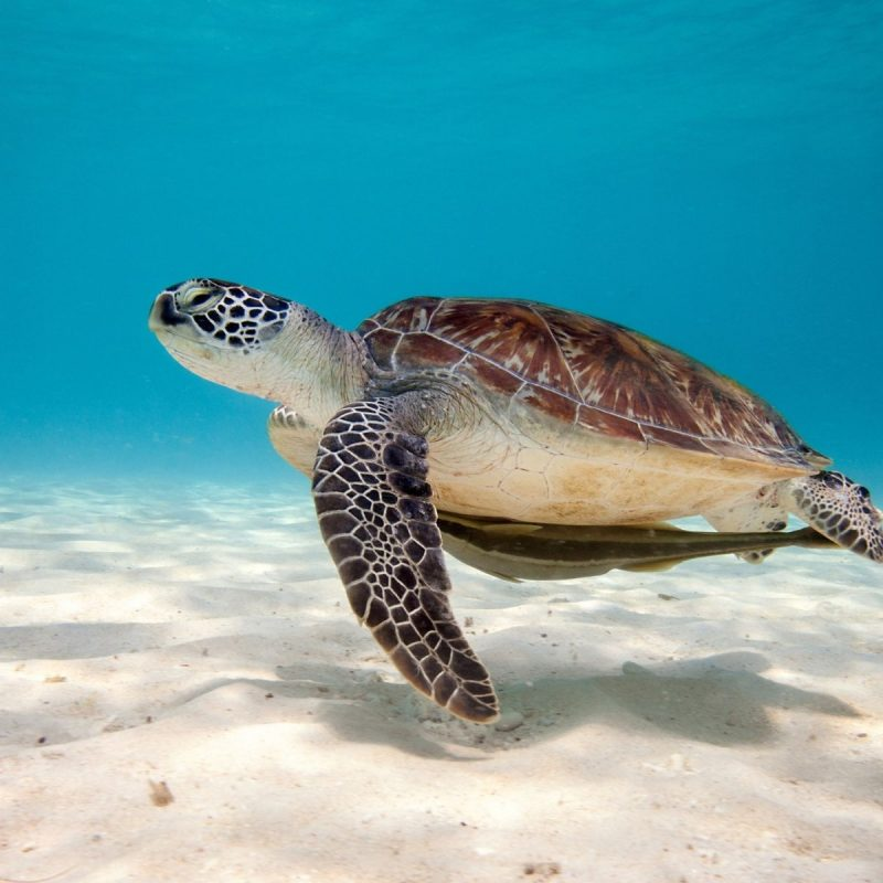 10 Best Baby Sea Turtle Wallpaper FULL HD 1080p For PC Background 2018 free download baby turtles wallpapers wallpaper cave 800x800