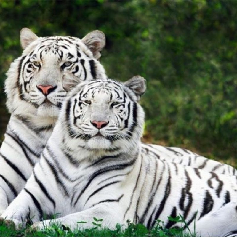 10 Latest Pictures Of Baby White Tigers FULL HD 1080p For PC Background 2020 free download baby white tiger cubs playing making their mom angry youtube 800x800