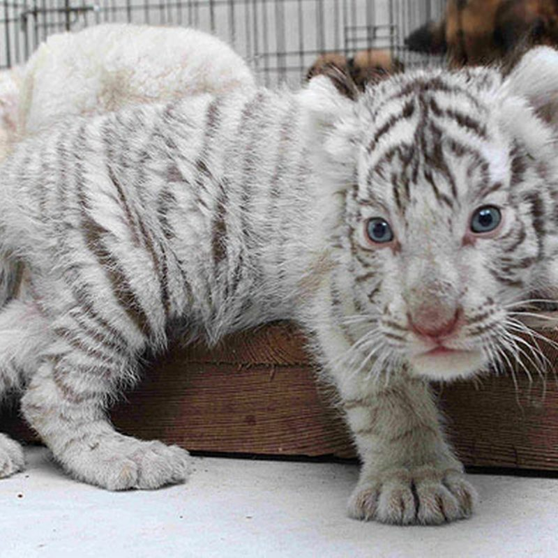 10 Latest Pictures Of Baby White Tigers FULL HD 1080p For PC Background 2020 free download baby white tiger pictures 800x800