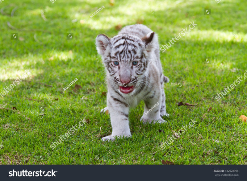 10 Top Baby White Tigers Pictures FULL HD 1080p For PC Desktop 2020 free download baby white tiger stock photo edit now 142028998 shutterstock 800x587