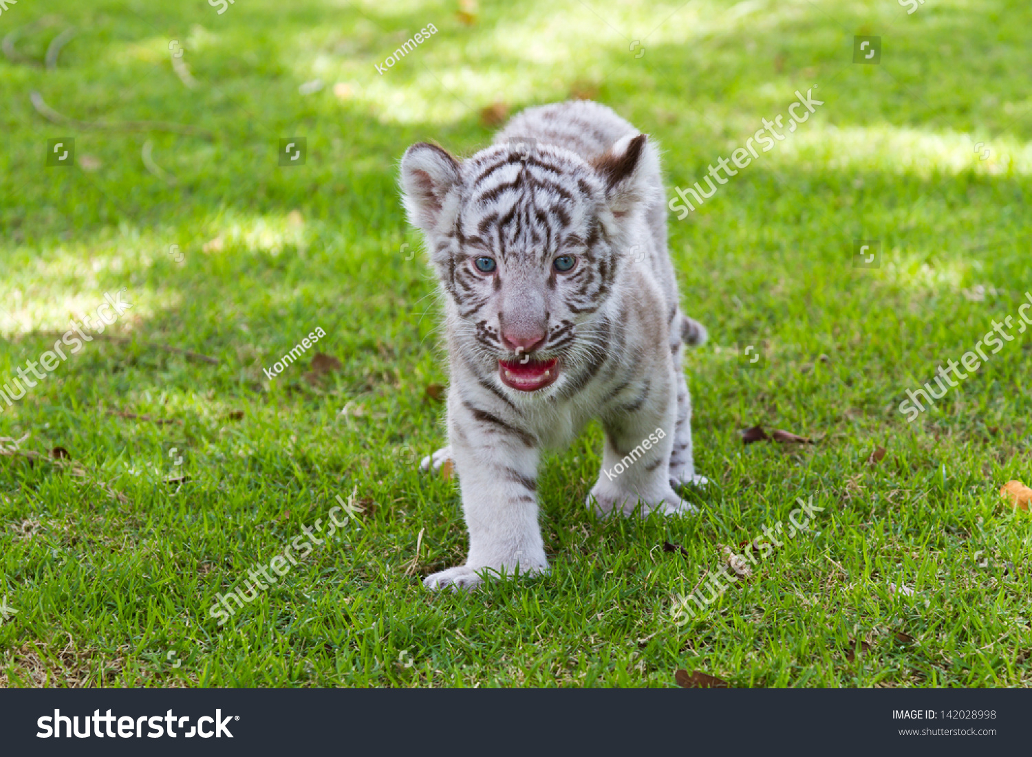 baby white tiger stock photo (edit now) 142028998 - shutterstock