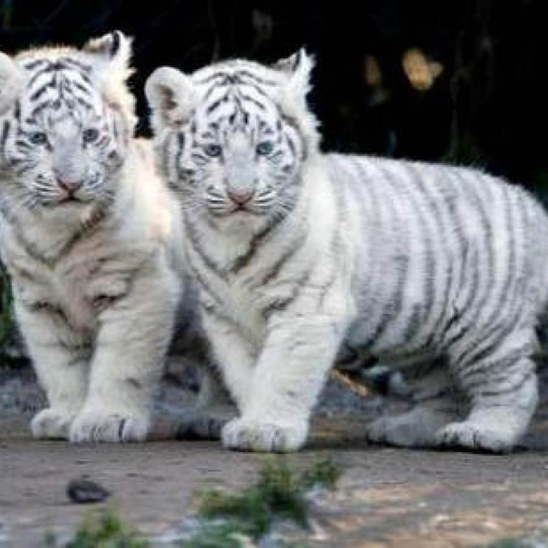 10 Latest Pictures Of Baby White Tigers FULL HD 1080p For PC Background 2020 free download baby white tiger wallpapers wallpaper cave 800x800