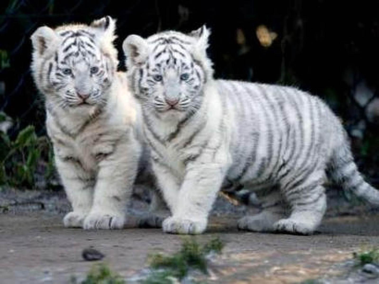 10 Latest Pictures Of Baby White Tigers FULL HD 1080p For PC Background