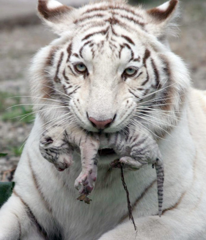 10 Top Baby White Tigers Pictures FULL HD 1080p For PC Desktop 2020 free download baby white tigers in wat hd wallpaper background images 688x800