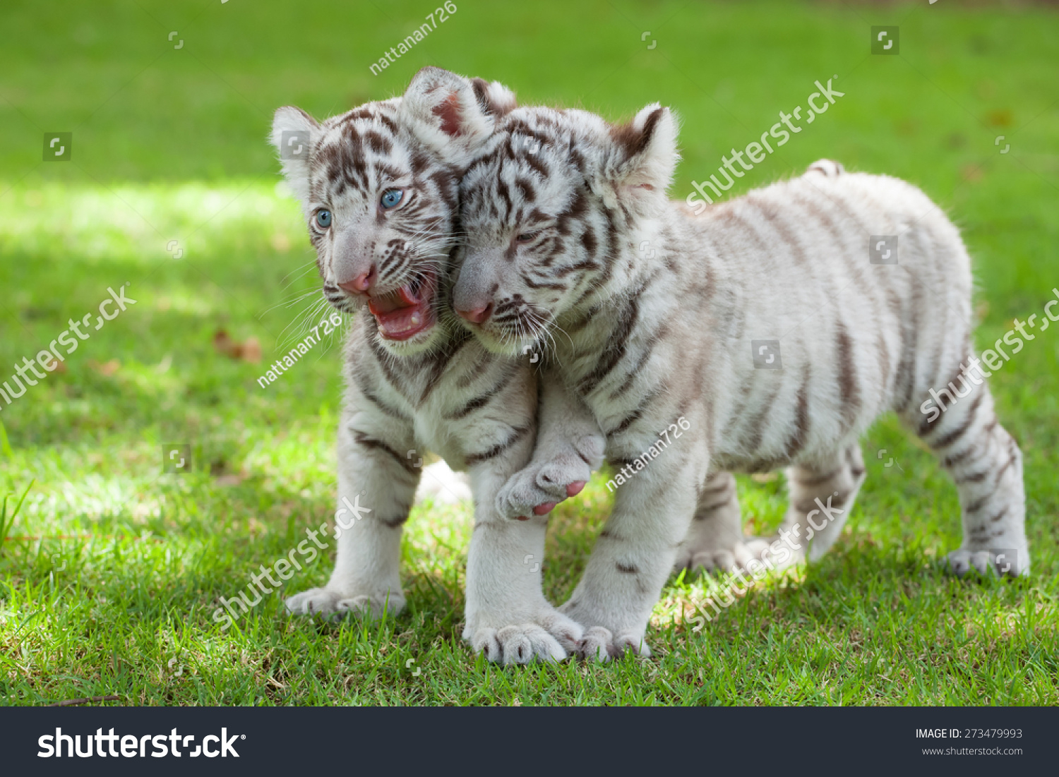 baby white tigers two children were stock photo (edit now) 273479993
