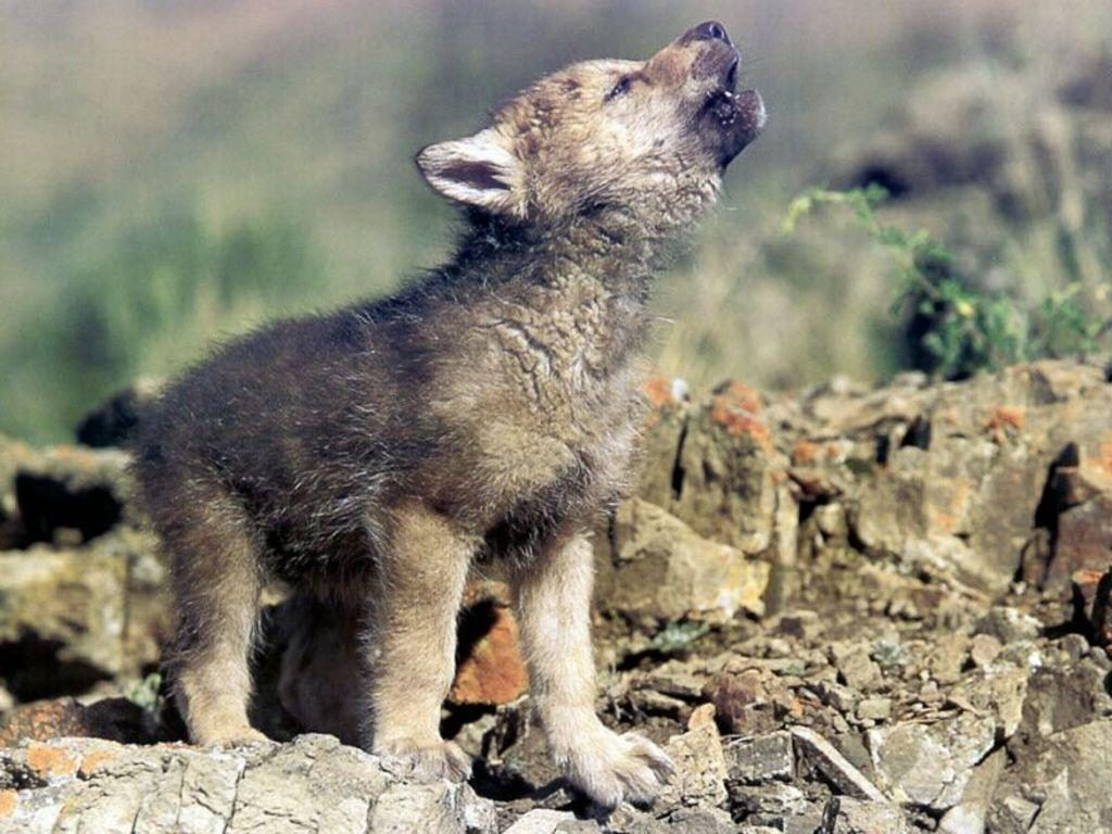 10 Most Popular Images Of Baby Wolves FULL HD 1920×1080 For PC Background 2018 free download baby wolf wallpapers wallpaper cave 1024x768