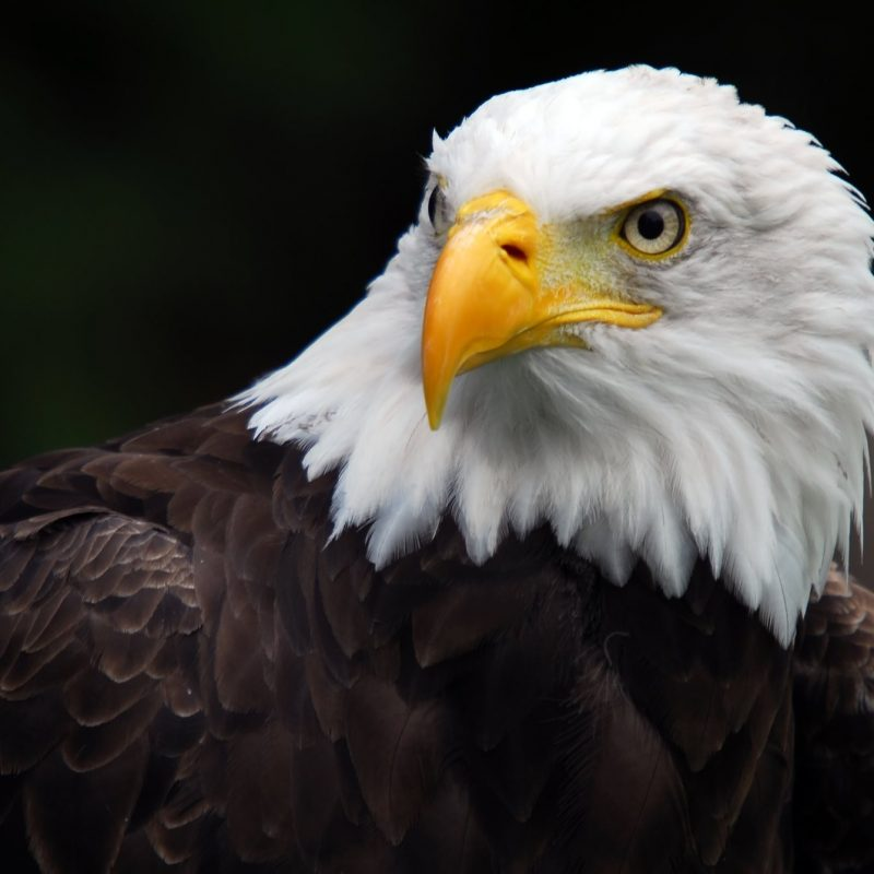10 New Bald Eagle Wallpaper High Resolution FULL HD 1080p For PC Background 2020 free download %name