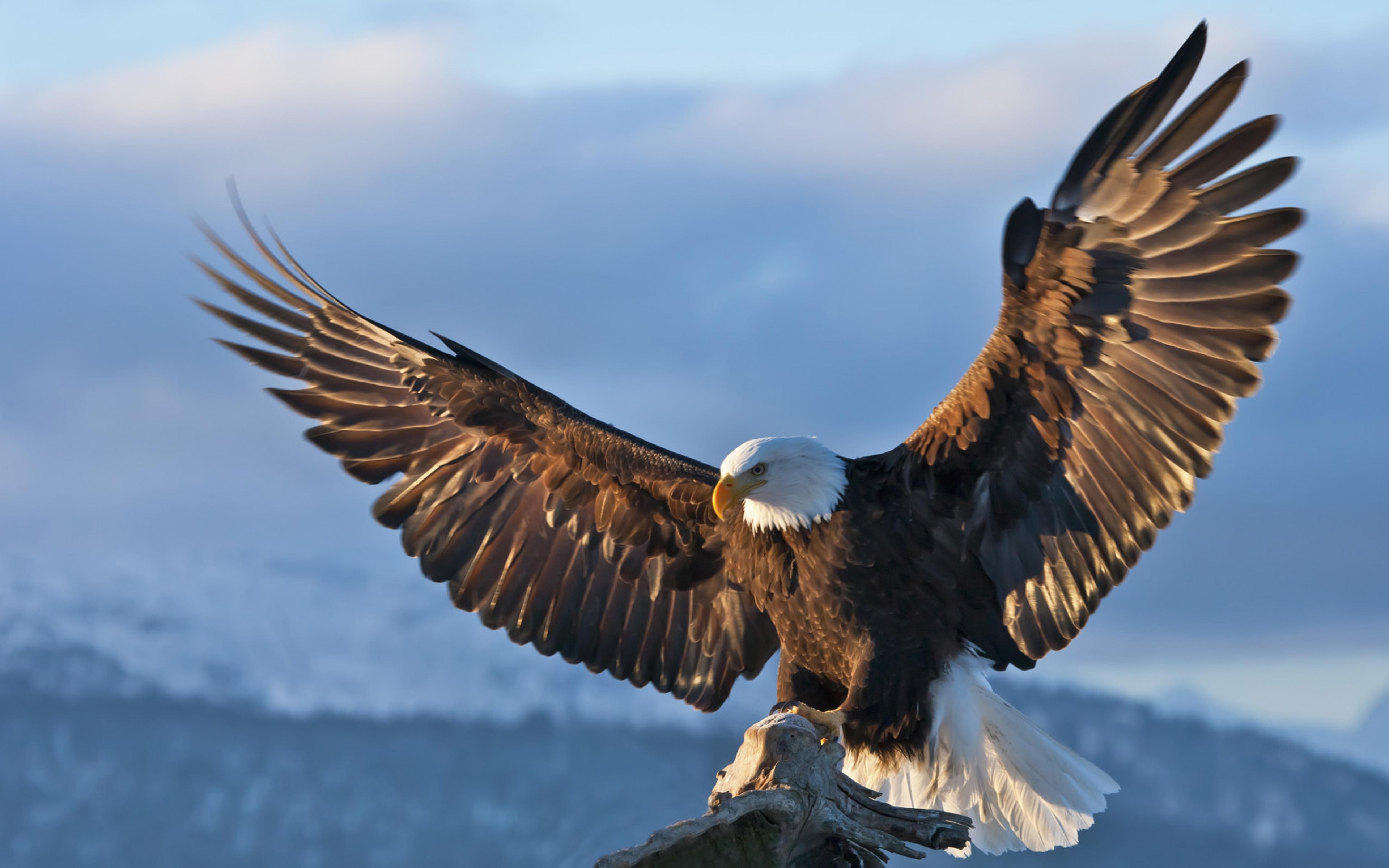 bald eagle dark sky spread wings wallpaper hd : wallpapers13