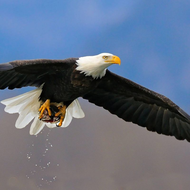 10 New Bald Eagle Wallpaper High Resolution FULL HD 1080p For PC Background 2020 free download bald eagle wallpaper hd images one hd wallpaper pictures 800x800