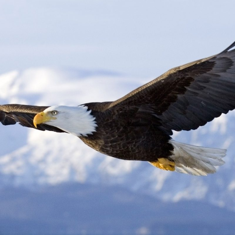 10 New Bald Eagle Wallpaper High Resolution FULL HD 1080p For PC Background 2020 free download bald eagle wallpaper hd wallpapers 800x800