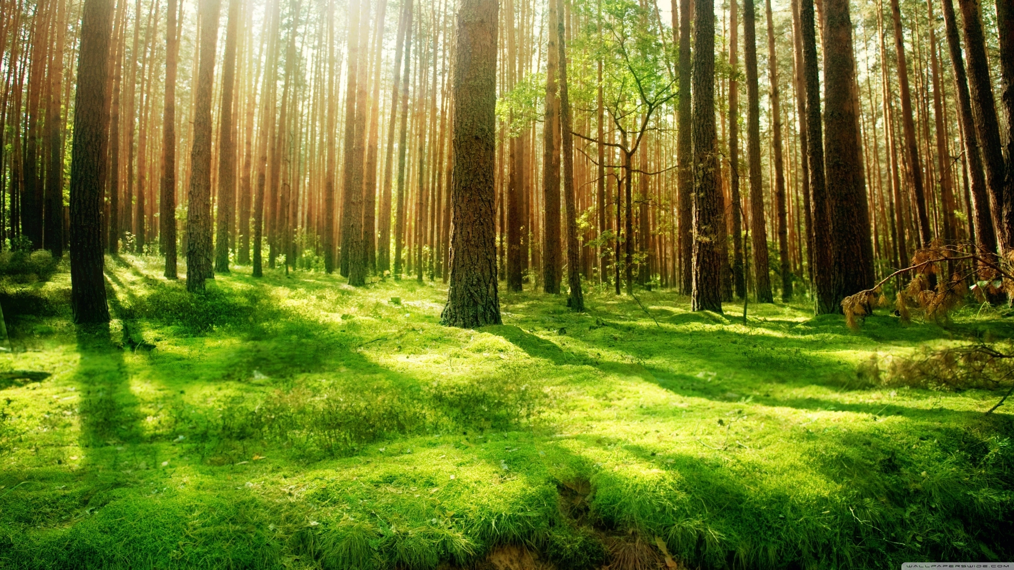 beautiful forest scenery ❤ 4k hd desktop wallpaper for 4k ultra hd