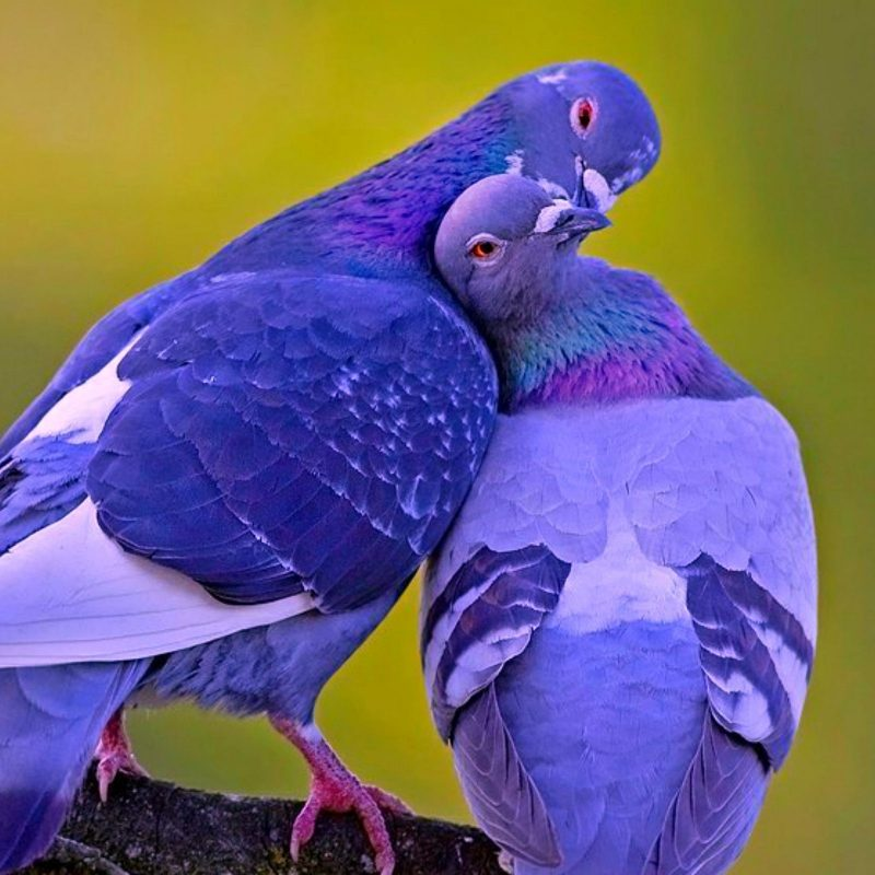 10 New Beautiful Wallpapers Of Love Birds FULL HD 1920×1080 For PC Desktop 2018 free download beautiful images of love birds download love bird wallpapers 800x800