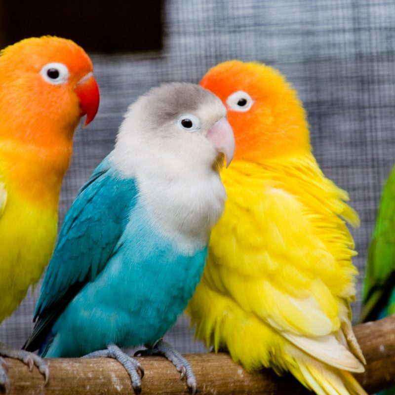 10 New Beautiful Wallpapers Of Love Birds FULL HD 1920×1080 For PC Desktop 2018 free download beautiful love birds as colorful wallpapers new hd wallpapers 800x800