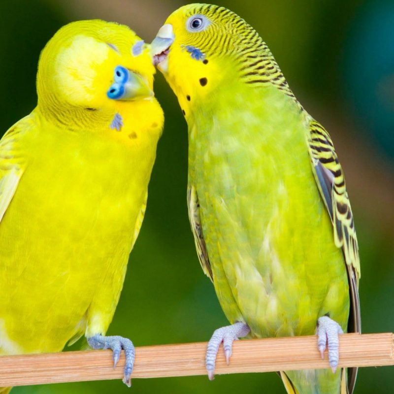 10 New Beautiful Wallpapers Of Love Birds FULL HD 1920×1080 For PC Desktop 2018 free download beautiful love birds wallpapers beautiful images hd pictures 800x800