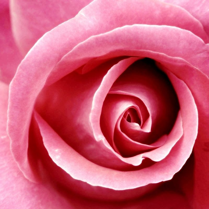 10 Best Pink Rose Wallpaper Hd FULL HD 1920×1080 For PC Background 2021 free download beautiful pink rose wallpapers hd wallpapers id 8678 800x800