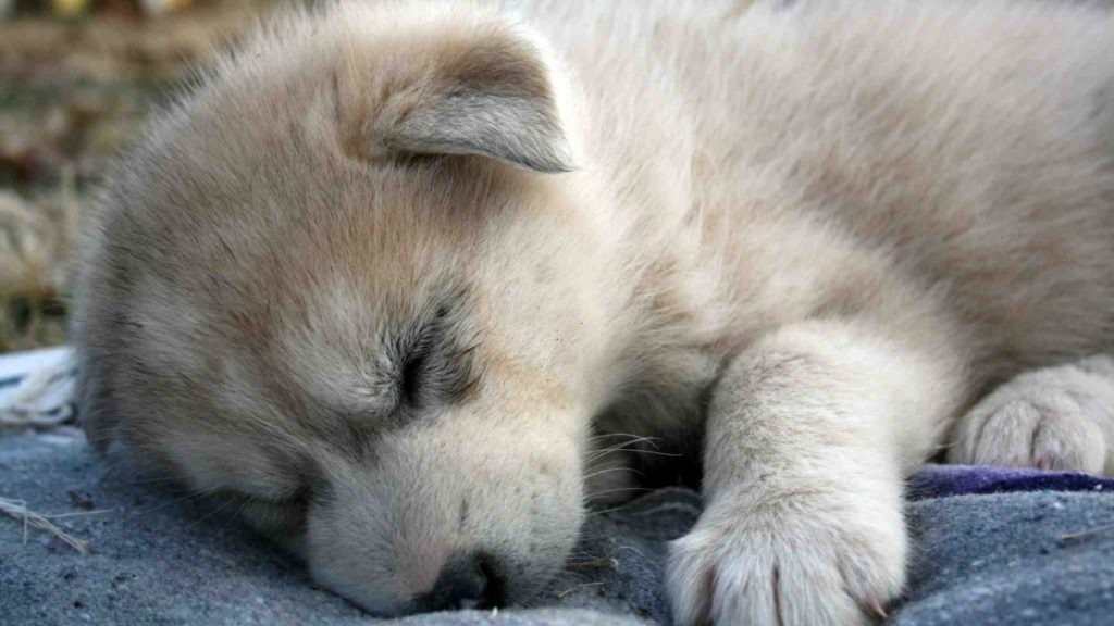 10 Most Popular Images Of Baby Wolves FULL HD 1920×1080 For PC Background 2018 free download beautiful wolves they need help baby wolves wolf and baby animals 1024x576