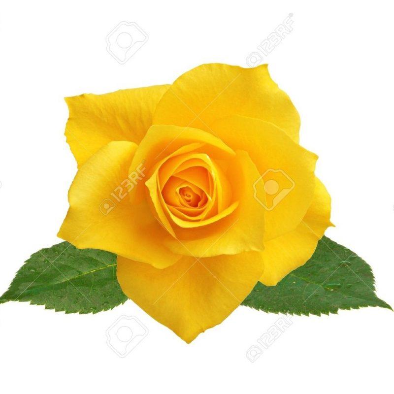 10 New Pics Of Yellow Rose Full Hd 19201080 For Pc Desktop 2019