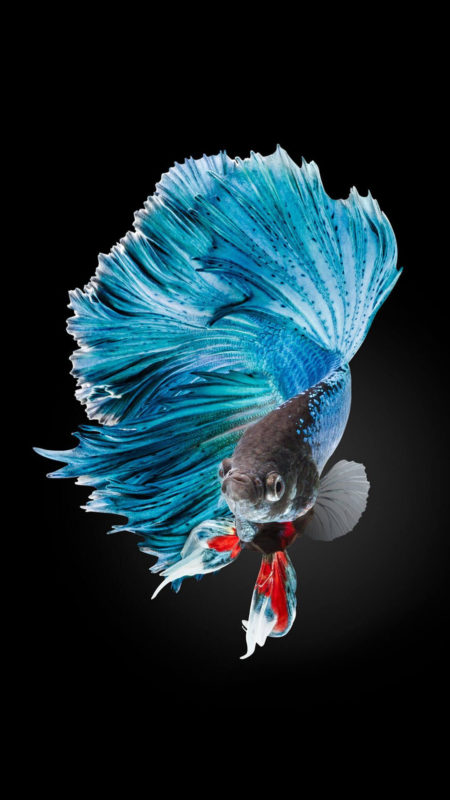 10 New Iphone Fish Wallpaper FULL HD 1920×1080 For PC Background 2021 free download betta fish wallpaper iphone 6 and iphone 6s hd animal wallpaper 1 450x800