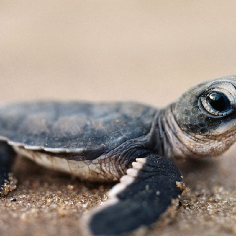 10 Latest Baby Sea Turtles Wallpaper FULL HD 1080p For PC Background 2018 free download bing baby turtle hd desktop wallpaper widescreen high adorable 800x800