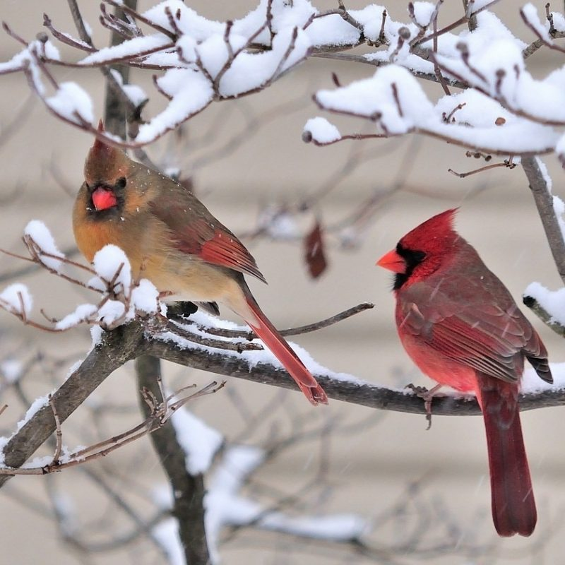 10 Best Cardinal Bird In Snow FULL HD 1080p For PC Background 2018 free download bird winter seasons colors cardinals christmas love sweet dry 800x800