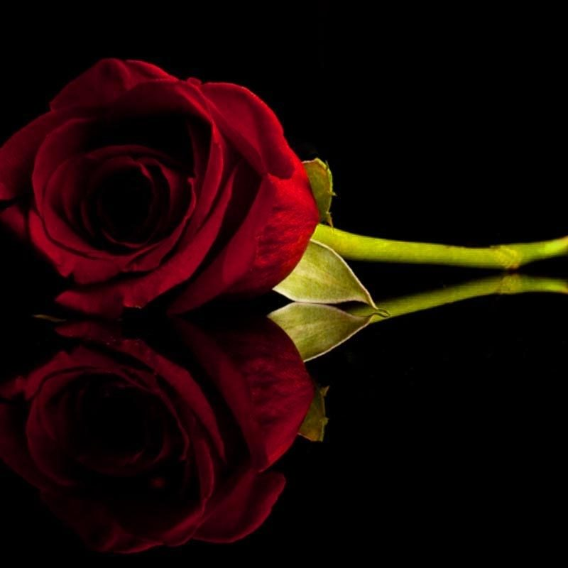 10 New Red Roses With Black Backgrounds FULL HD 1080p For PC Background 2018 free download black and red roses red and black rose wallpapers 8 wide wallpaper 800x800