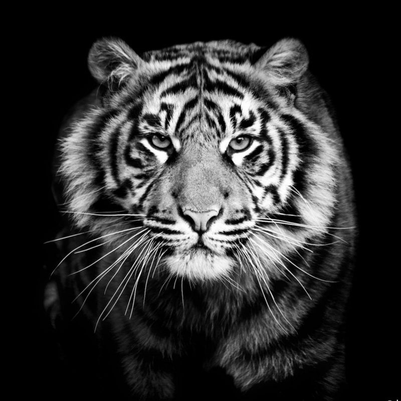 10 Most Popular Black And White Animal Wallpaper FULL HD 1080p For PC Desktop 2018 free download black and white animal wallpaper c2b7e291a0 800x800