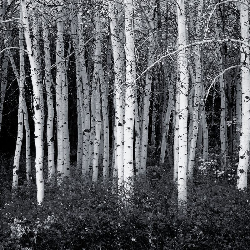 10 Top Forest Wallpaper Black And White FULL HD 1920×1080 For PC Desktop 2018 free download black and white aspen forest wallpaper corporate socialist glenn 1 800x800
