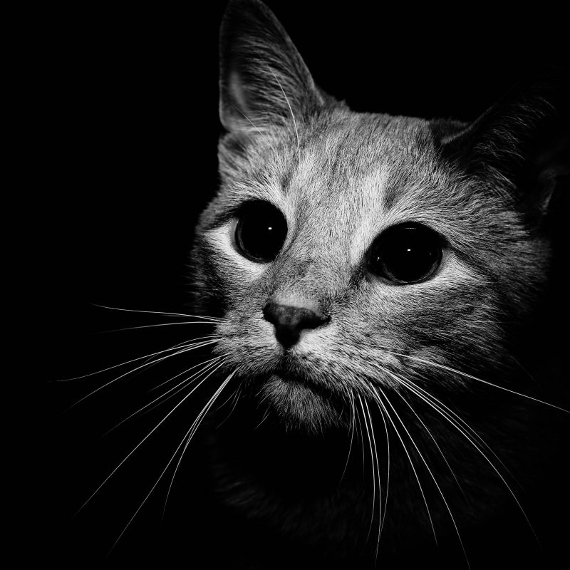 10 New Black And White Cat Wallpaper FULL HD 1080p For PC Desktop 2018 free download black and white cat wallpapers wallpaper cave 800x800