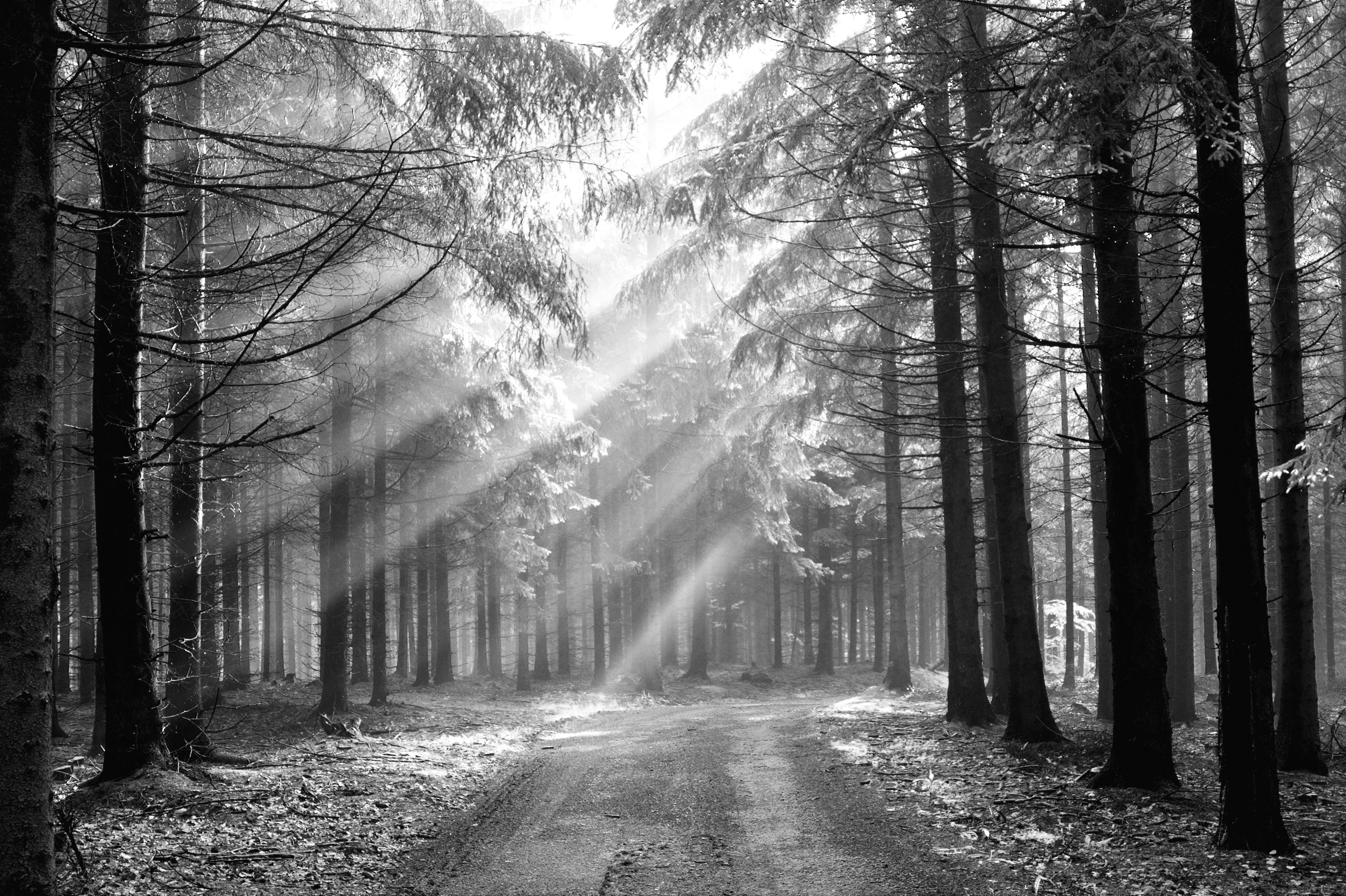 black and white forest images - media file   pixelstalk