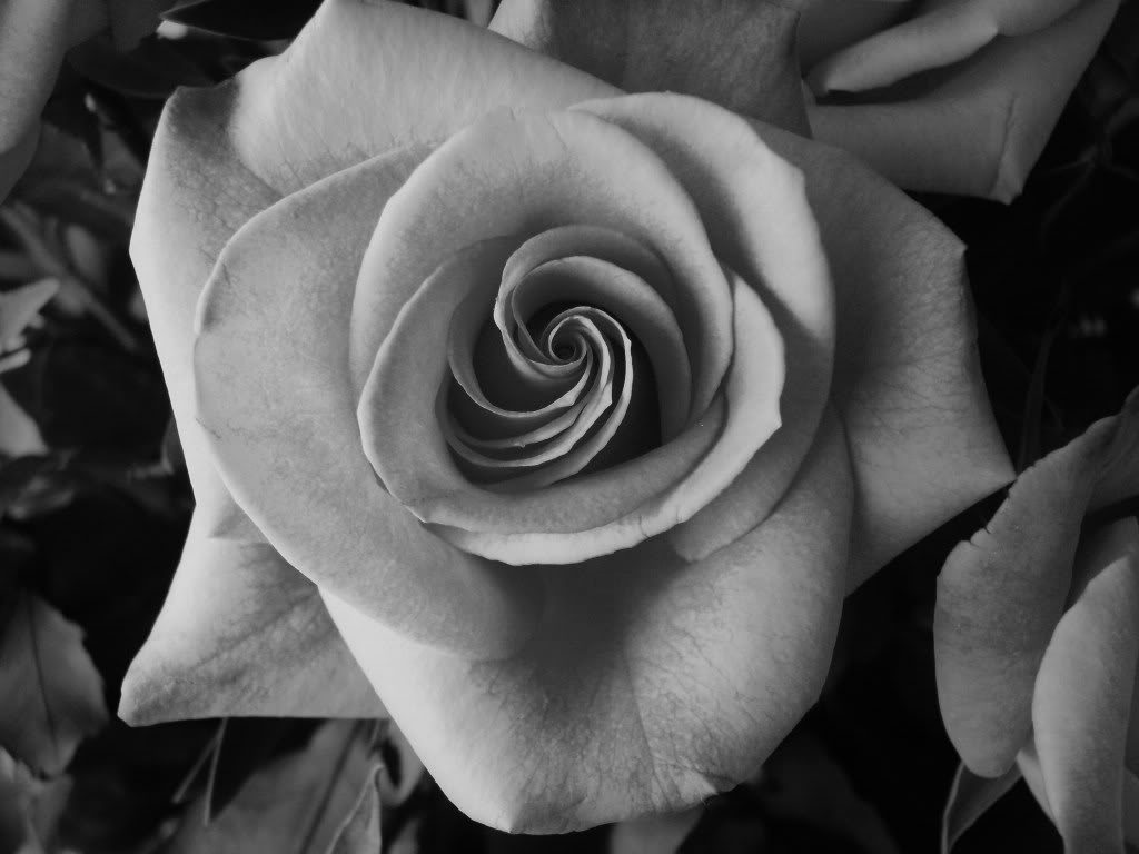 10 Most Popular Black And White Rose Wallpaper FULL HD 1920×1080 For PC Background 2018 free download black and white roses wallpaper hd roses pinterest 1024x768