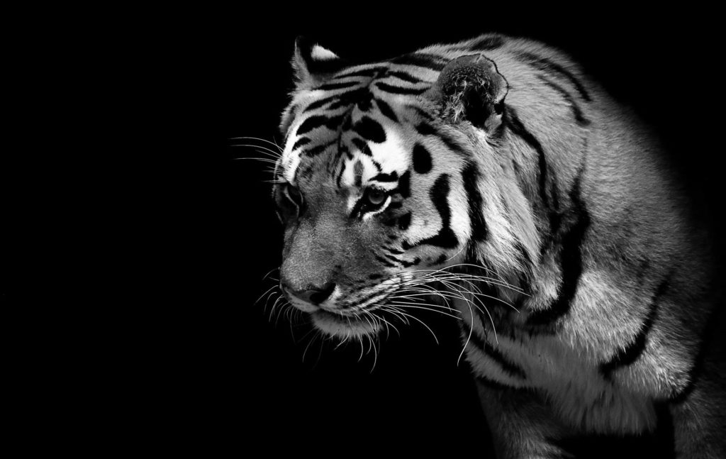 10 Top Black And White Tiger Wallpaper FULL HD 1920×1080 For PC Background 2020 free download black and white tiger photos 1024x647