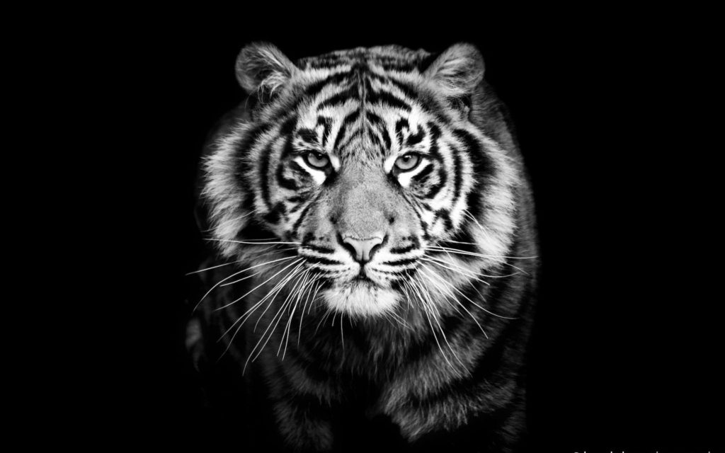 10 Top Black And White Tiger Wallpaper FULL HD 1920×1080 For PC Background 2020 free download black and white tiger wallpaper 60 images 1024x640