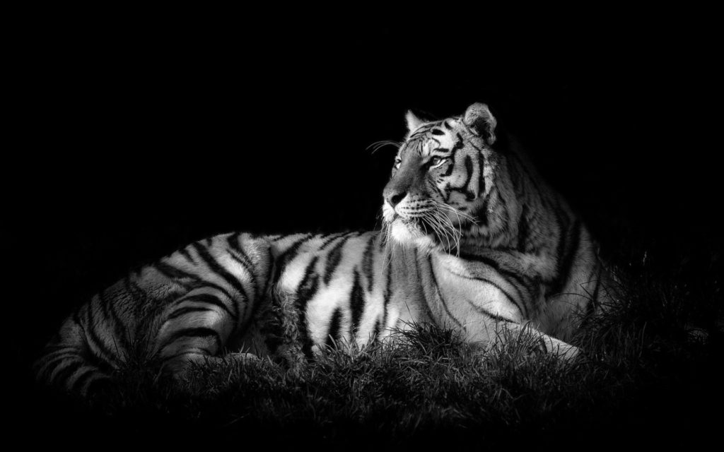 10 Top Black And White Tiger Wallpaper FULL HD 1920×1080 For PC Background 2020 free download black and white tiger wallpaper dowload 1024x640