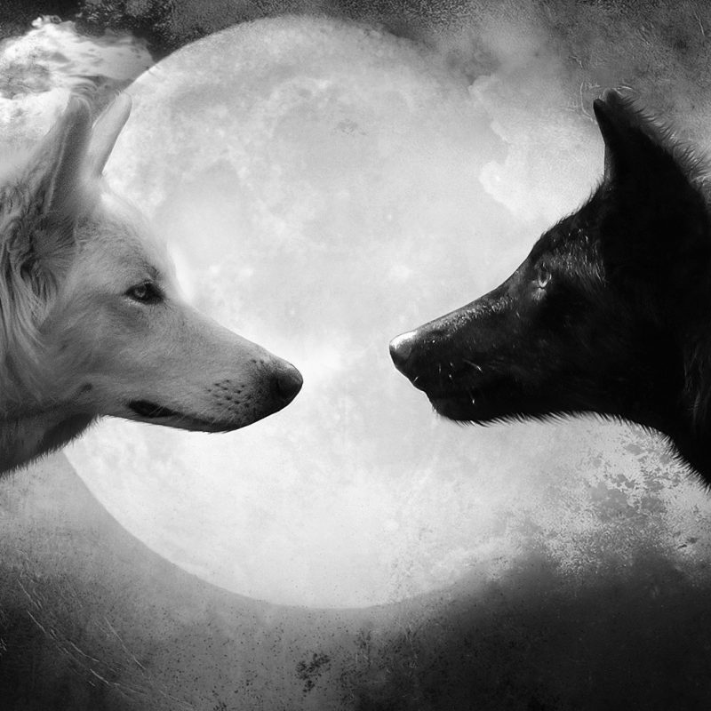 10 Most Popular Black And White Wolves Wallpaper FULL HD 1920×1080 For PC Background 2018 free download black and white wolves wallpaper 1251191 800x800