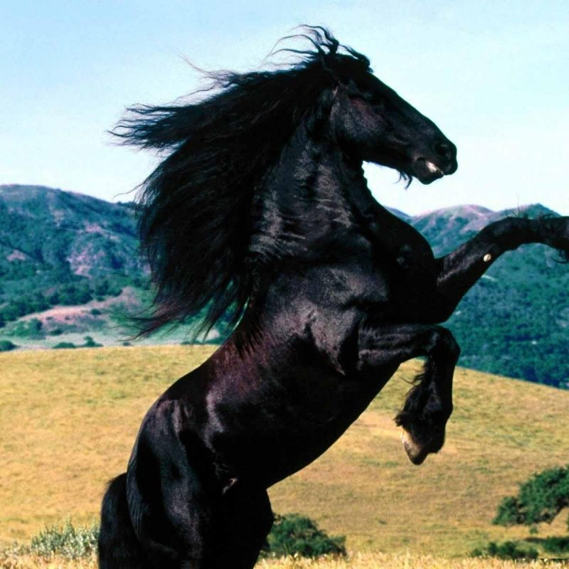 10 Latest Images Of Black Horses FULL HD 1080p For PC Background 2018 free download black horses wallpapers entertainment only 800x800