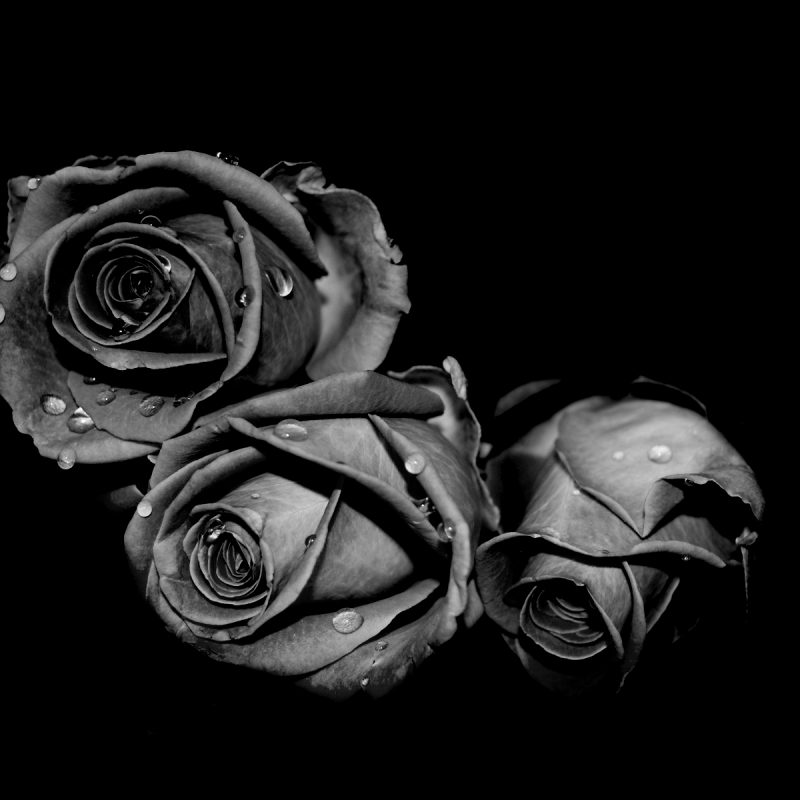 10 Best Black Rose Wallpaper Gothic FULL HD 1920×1080 For PC Background 2018 free download black rose 49 best hd wallpapers of black rose high quality black 800x800