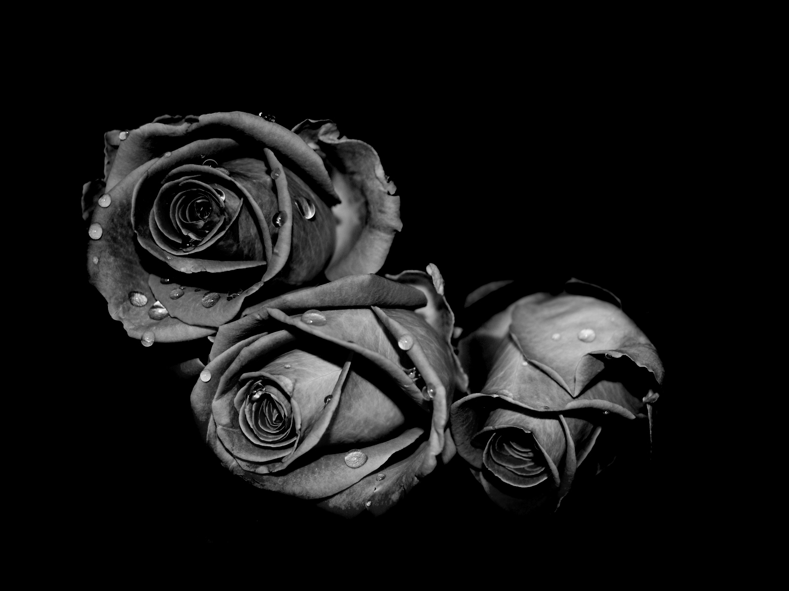 black rose, 49 best hd wallpapers of black rose, high quality black