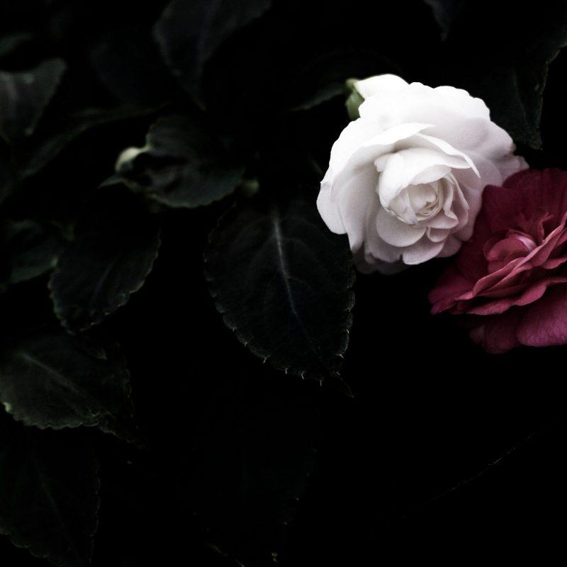 10 Best Black And White Roses Wallpaper FULL HD 1080p For PC Desktop 2018 free download black rose wallpaper hd flowers pinterest rose wallpaper hd 800x800