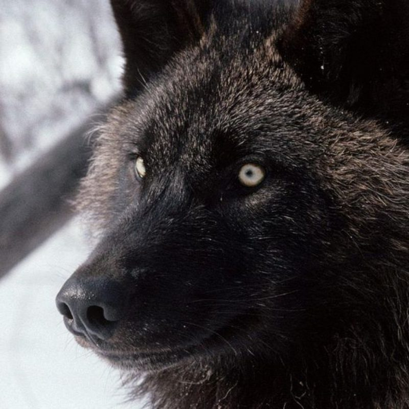10 Top Black Wolf Hd Wallpaper FULL HD 1920×1080 For PC Background 2018 free download black wolf image wallpaper 800x800