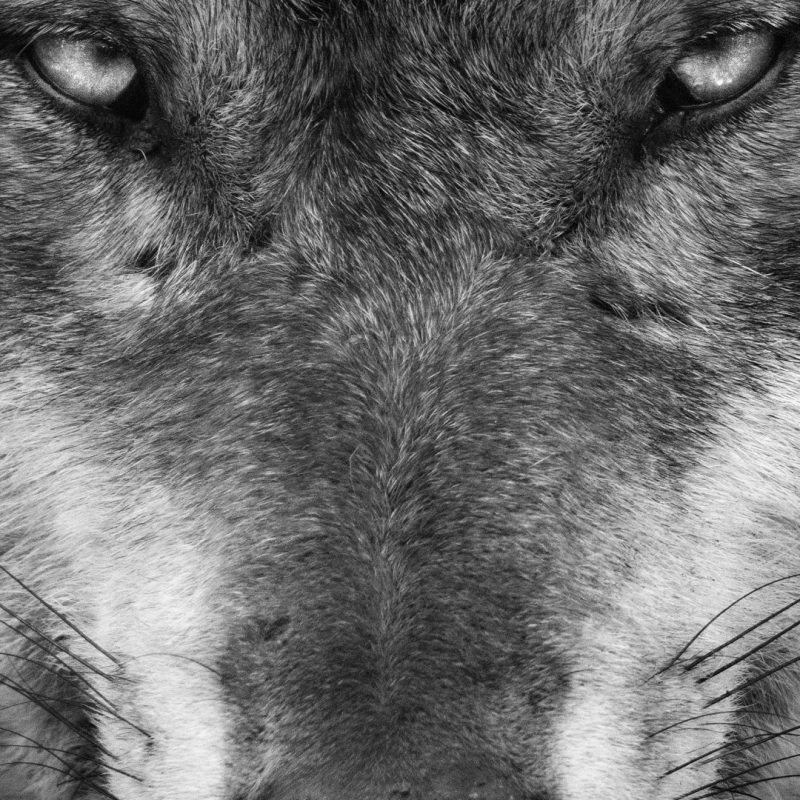 10 Most Popular Black And White Wolves Wallpaper FULL HD 1920×1080 For PC Background 2018 free download black wolf wallpaper 64 images 800x800
