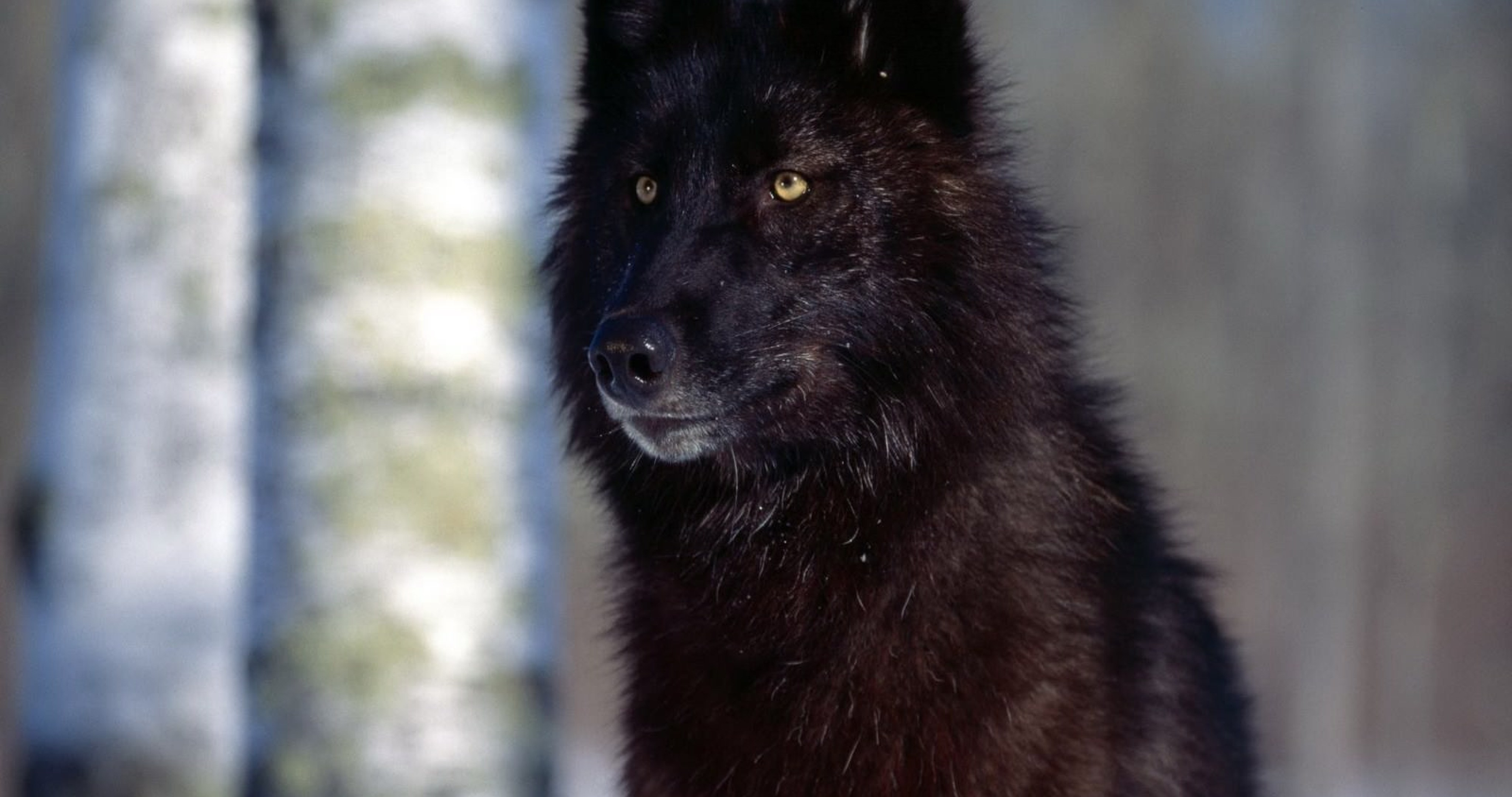 black wolf wallpaper hd 4k ultra hd wallpaper | ololoshenka | pinterest