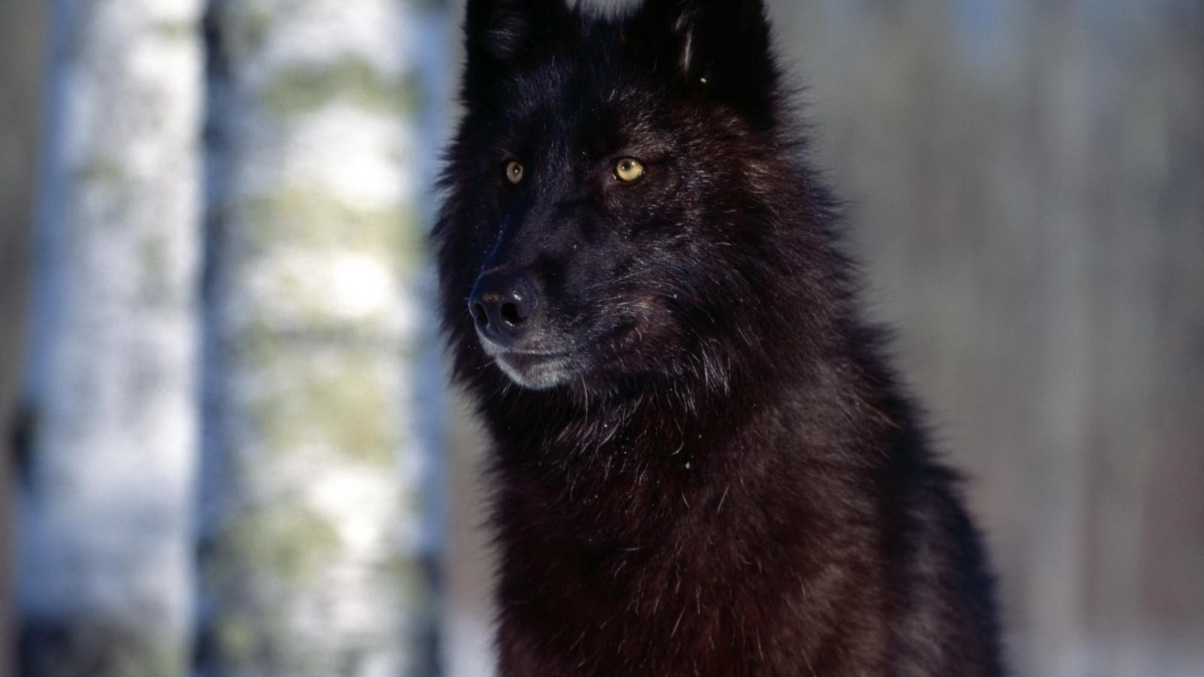 black wolf wallpaper hd wallpaper 4k uhdtv resolution - wallpapers
