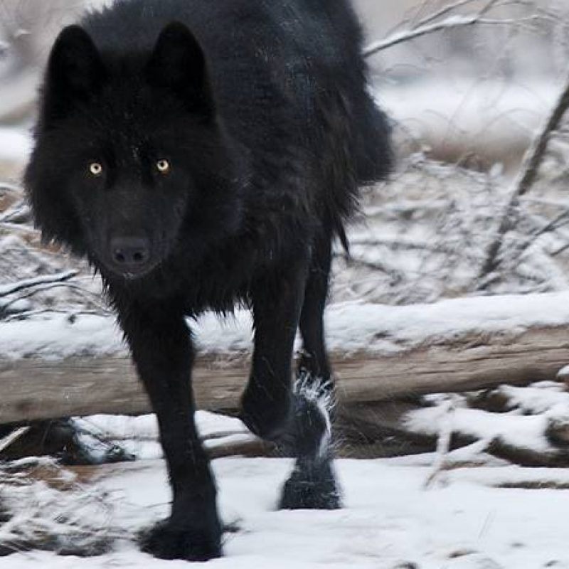 10 Top Black Wolf Hd Wallpaper FULL HD 1920×1080 For PC Background 2018 free download black wolf wallpapers high quality download free 800x800