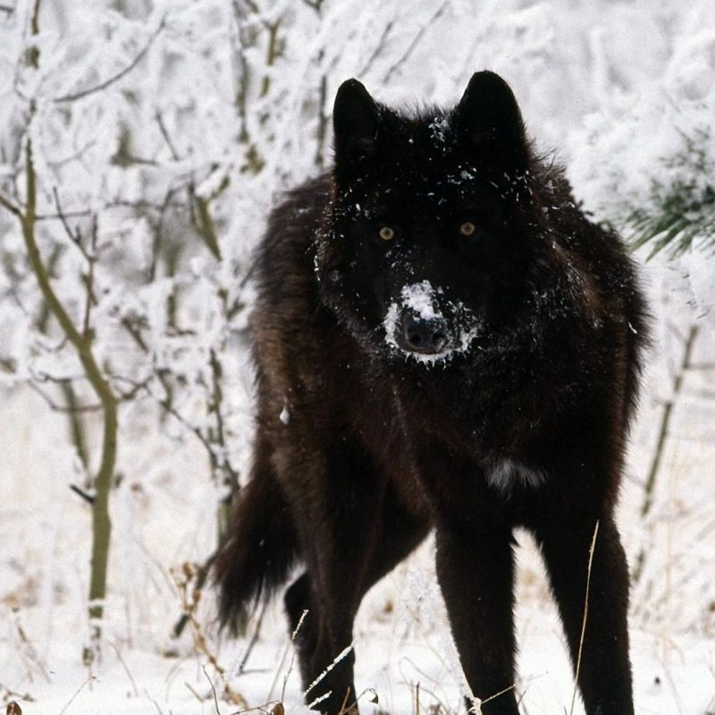 10 Top Black Wolf Hd Wallpaper FULL HD 1920×1080 For PC Background 2020 free download black wolf wallpapers high quality download free hd wallpapers 800x800