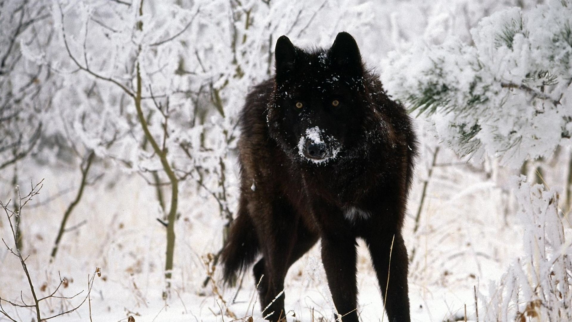 black wolf wallpapers high quality download free | hd wallpapers