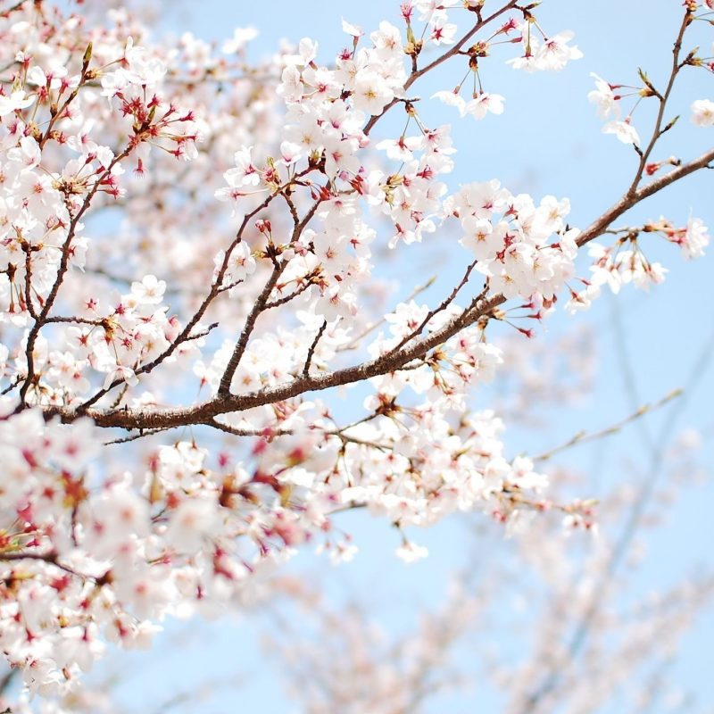 10 Best Cherry Blossom Desktop Backgrounds FULL HD 1920×1080 For PC Desktop 2018 free download blossom tree cherry flower wallpaper hd desktop background 800x800
