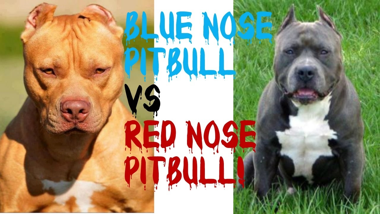 blue nose pitbulls vs red nose pitbulls!!! pt. 2 - youtube